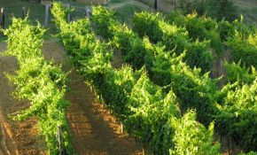 Photo of the vineyard of a property for sale | property in Orvieto
